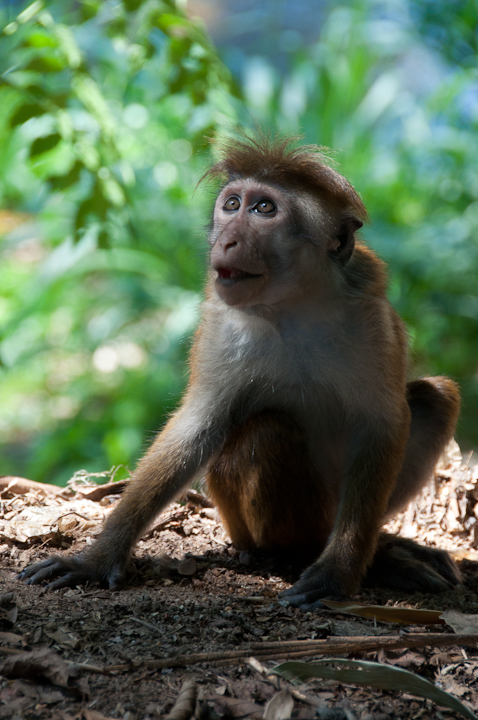 new macaque