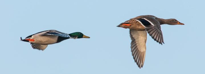 duck studies #1
