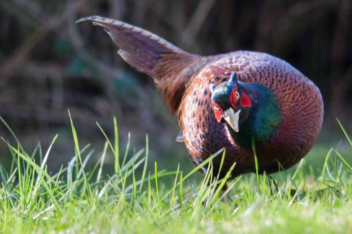pleasing pheasant