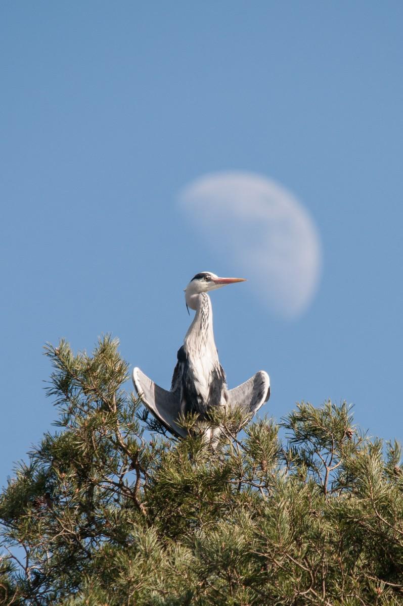 meditating heron