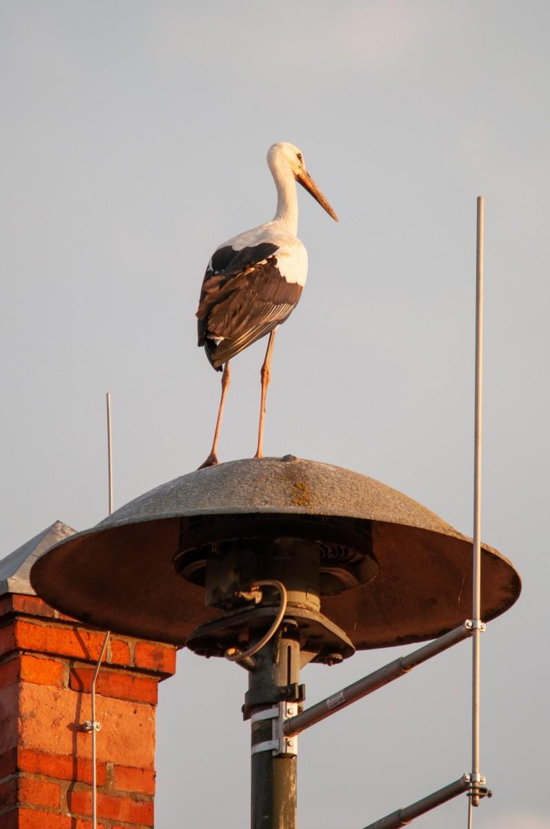 the storks of Werben